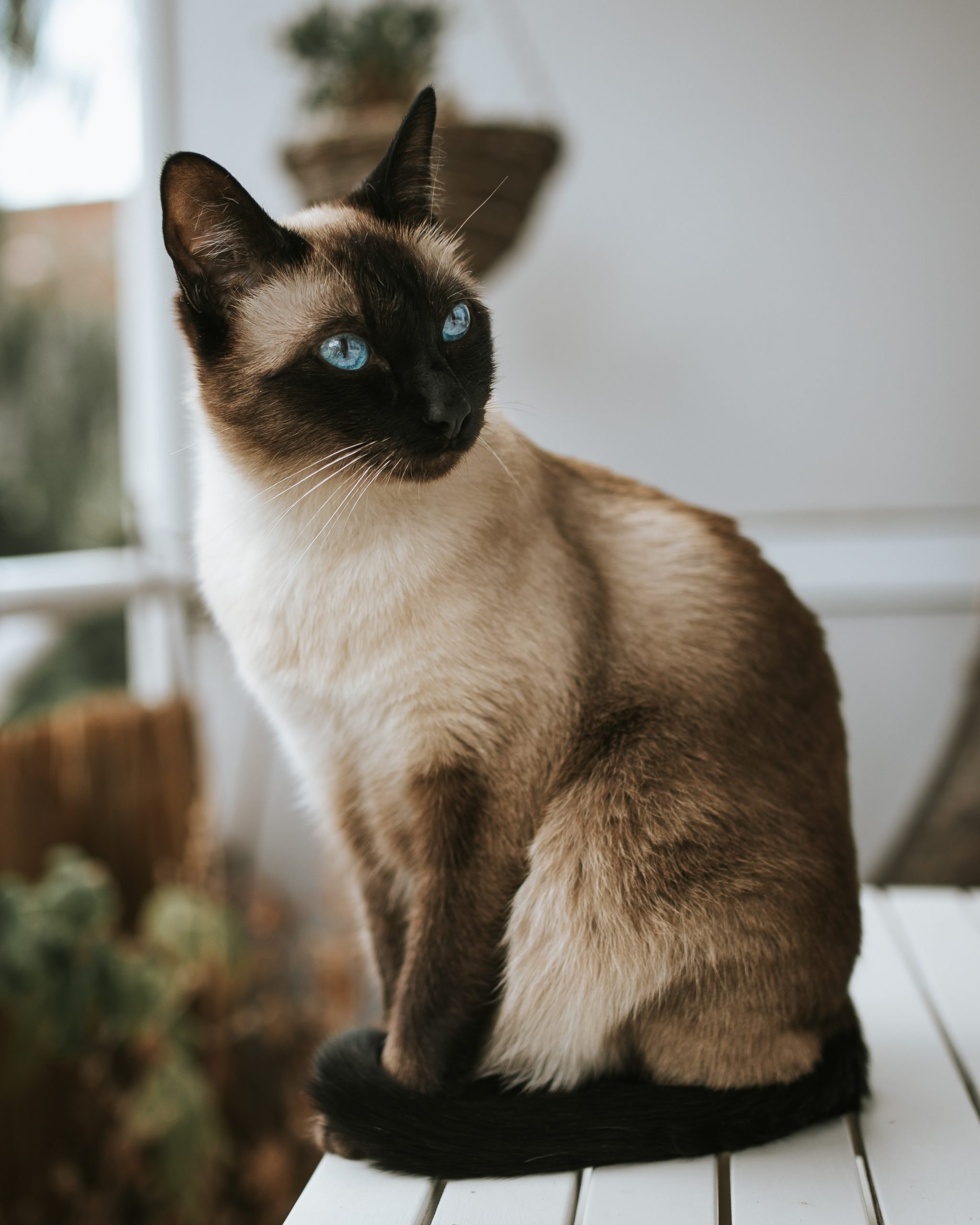 Beautiful siamese thai cat with blue eyes relaxing