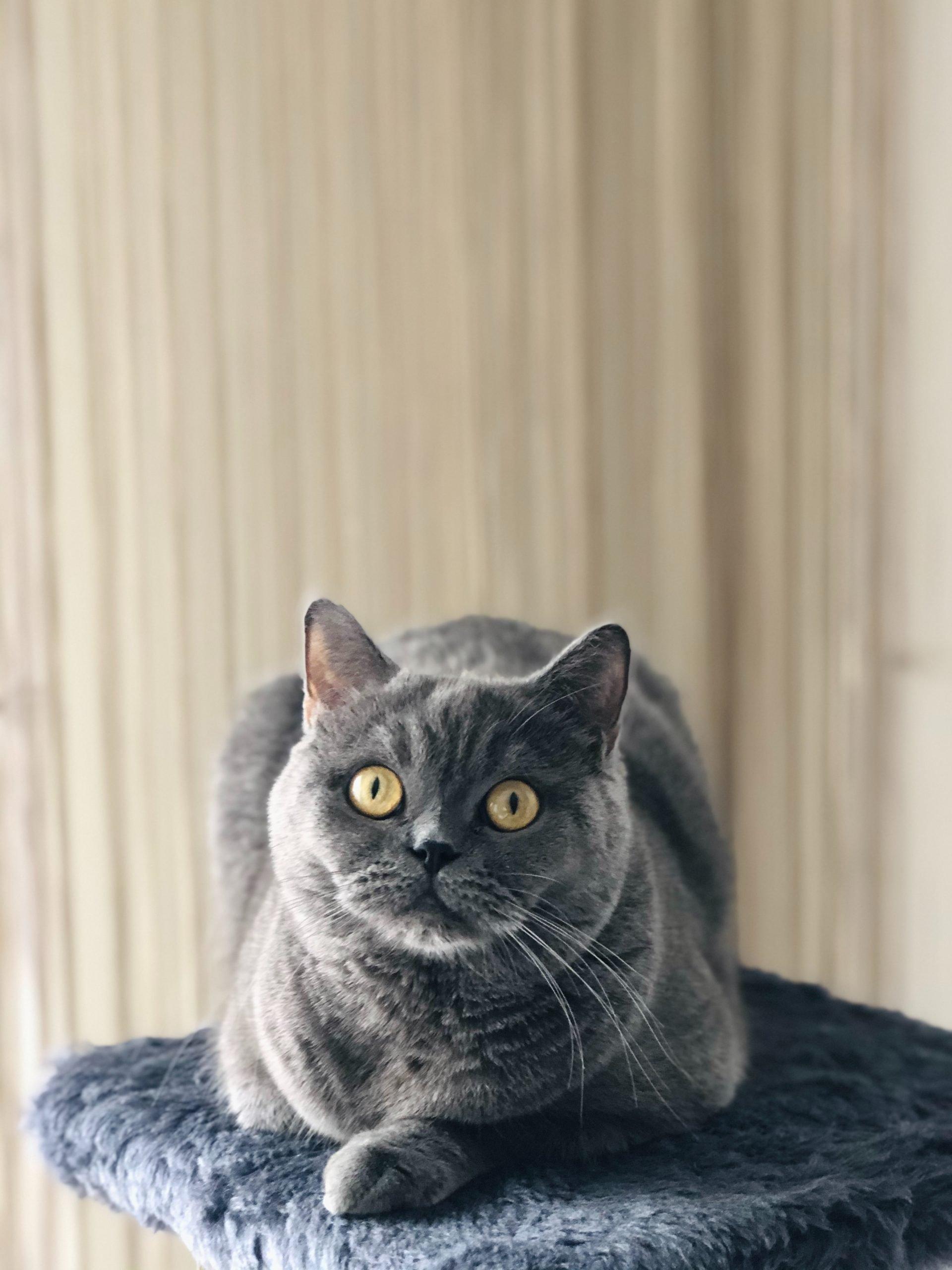 russian blue cat on black textile